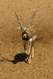 Antelope Series Blackbuck Stock Photo