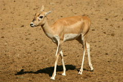 Antelope Series Blackbuck Stock Photos