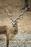 Antelope Series Blackbuck Royalty Free Stock Photos