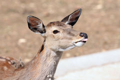 Antelope is showing this tongue. Antelope is laughing in the moscower zoo at summer Royalty Free Stock Images