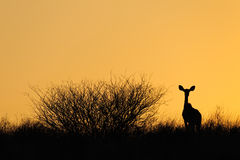 Antelope silhouette Stock Photos