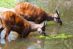 Antelope Sitatunga eats water algae Stock Photo