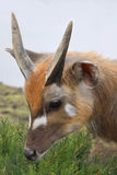Antelope Sitatunga Marshbuck Africa Wildlife Royalty Free Stock Photography