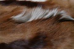 Antelope skin Stock Photo