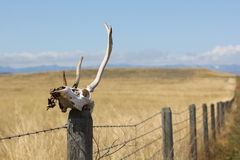 Antelope Skull on Fence Post. Antelope skull sitting on fence post in South Eastern Wyoming field royalty free stock photo