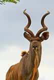 Antelope in South Africa. Antelope head in Tala Game Reserve, South Africa royalty free stock photography
