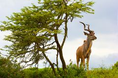 Antelope in South Africa Stock Photos