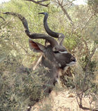 Antelope in South Africa Royalty Free Stock Images