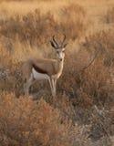 Antelope Springbok. An Antelope Springbok in its natural habitat Royalty Free Stock Images