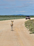 Antelope springbok, Etosha, Namibia. Springbok antelope standing on a dirt road against a car in Etosha national park in Namibia; Antidorcas Marsupialis Royalty Free Stock Photography