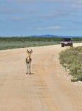 Antelope springbok, Etosha, Namibia Royalty Free Stock Photography