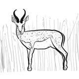Antelope Springbok Royalty Free Stock Images