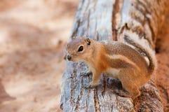 Antelope Squirrel Royalty Free Stock Photo