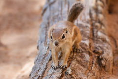 Antelope Squirrel Royalty Free Stock Photography
