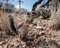 Antelope Squirrel Stock Image