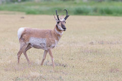 Antelope standing in field. In Montana Royalty Free Stock Photo
