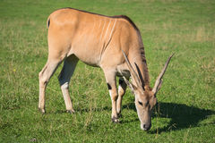 Antelope standing on the grass. Stock Image