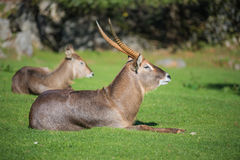 Antelope standing on the grass . Stock Photography
