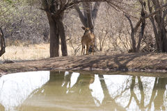 Antelope standing near to pond Stock Photo