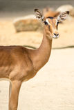 Antelope standing on a rocky sandy background Royalty Free Stock Photos