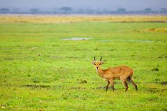 Antelope is standing in the swamp of Kenya Royalty Free Stock Images