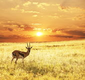 Antelope on sunset Stock Photo