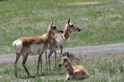 Antelope three. Three antelope or pronghorn in grassy area royalty free stock images