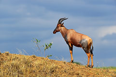 Antelope Topi stock photos