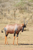 Antelope Topi Stock Photography