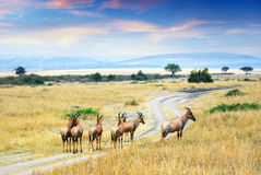 Antelope Topis (Damaliscus korrigum) Royalty Free Stock Photos