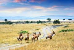 Antelope Topis (Damaliscus korrigum) royalty free stock photos