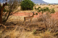 Antelope in Tsavo East Royalty Free Stock Photos