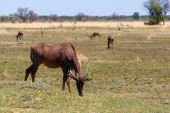 Antelope tsessebe Africa safari wildlife and wilderness. Antelope common Tsessebe Damaliscus lunatus grazing, Caprivi strip game park, Nambwa, Namibia, Africa Royalty Free Stock Photography