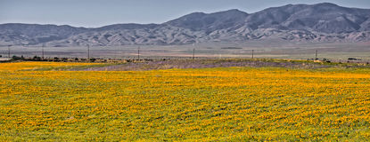Antelope valley poppy field Royalty Free Stock Images