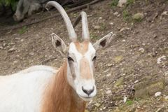 Antelope. A view of some antelope royalty free stock photography