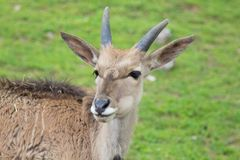 Antelope. A view of some antelope Royalty Free Stock Image