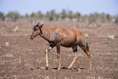 Antelope walking Stock Images