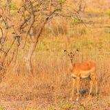 Antelope walking through the bushes in morning light Stock Photo