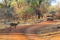 Antelope walking through the bushes in morning light Stock Image