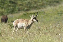 Antelope walking in grass. Royalty Free Stock Images