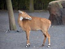 Antelope while walking. An antelope walking through profile view Stock Photography