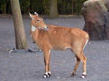 Antelope while walking. An antelope walking through profile view Stock Photo