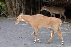 Antelope while walking. An antelope walking through profile view Royalty Free Stock Photos