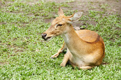 Antelope. Was lying in the grass Royalty Free Stock Photos