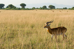 Antelope is watching for predators in the steppe. An antelope is watching for predators in the steppe in Uganda Stock Photo