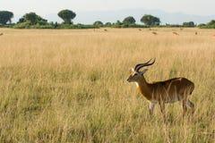 Antelope is watching for predators in the steppe. An antelope is watching for predators in the steppe in Uganda Stock Photo