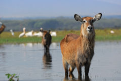 An antelope Waterbuck in the water Stock Photo