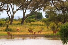 Antelope at the watering place. Small pond in savanna. Tanzania, Africa Stock Photography