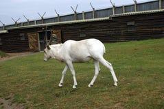 Antelope. white deer Stock Photo