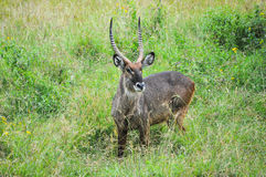 Antelope. Wild antelope in the African bush Royalty Free Stock Photo